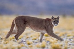 Conservación. Puma en Argentina