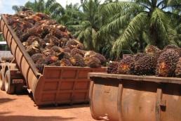 cosecha palma