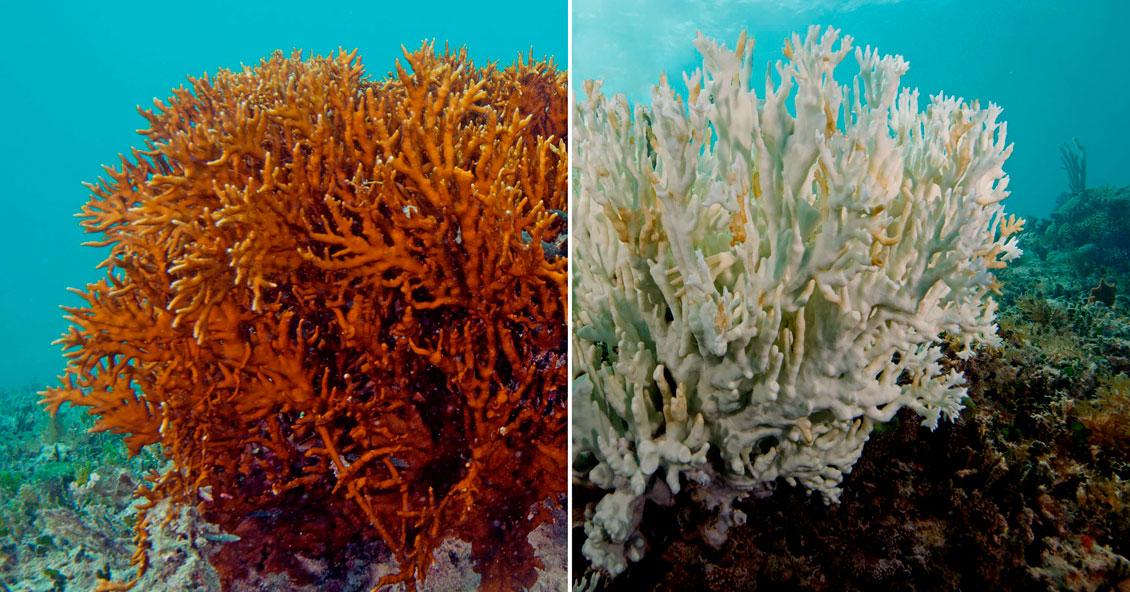 La Gran Barrera de Coral sufre un blanqueamiento sin precedentes ...