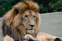 León del Zoológico Cordobés llamado Tango