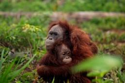 Orangutanes en peligro