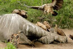 Buitres alimentándose de un elefante muerto.